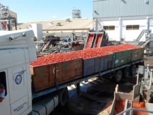 conesa tomate